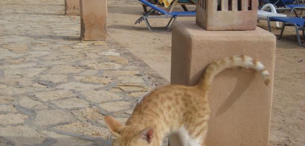 Gatto-egiziano.jpg